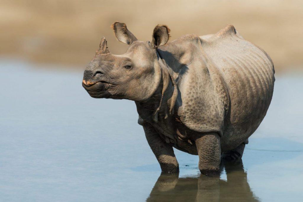 Animal com R - rinoceronte