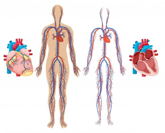 Sistemas do corpo humano: sistema cardiovascular