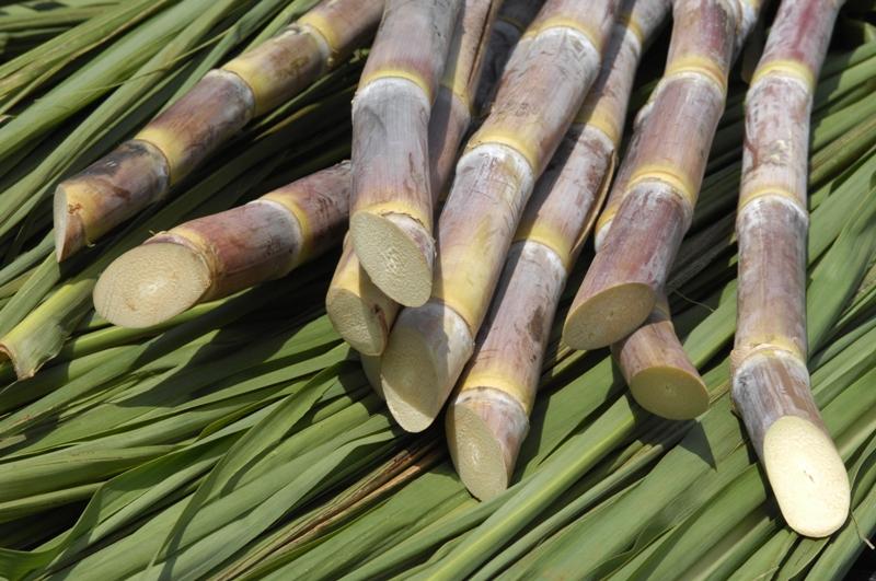Caule - Colmo preenchido de cana-de-açúcar