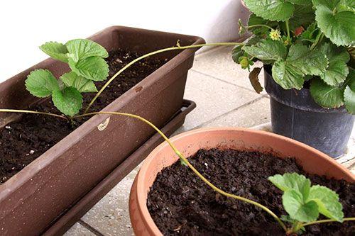 Caule - Estolão em plantas de morango