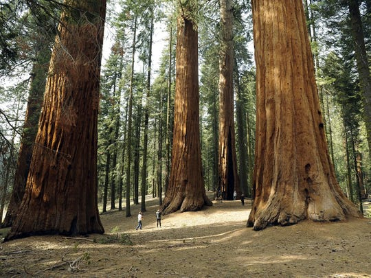 Caules- Troncos de Sequoias, as maiores árvores do planeta.