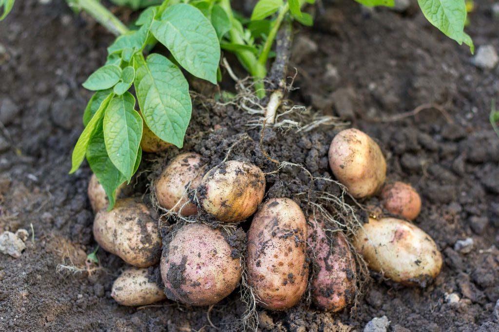 Caule - Tubérculo em planta de batata-inglesa