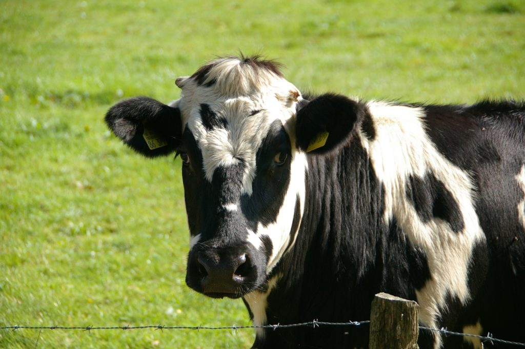 Animal com V - Vaca