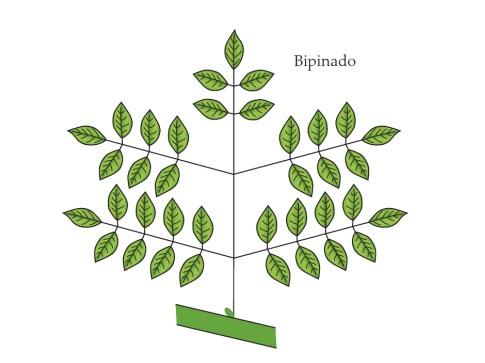 Classificação de folhas - Filotaxia de folhas compostas (Imagem retirada do livro Sistemática Vegetal 3 ed Um Enfoque Filogenético)