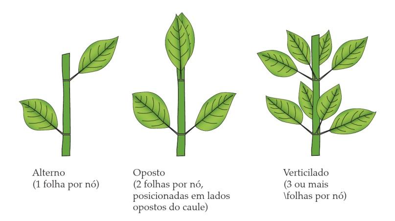 Classificação de folhas - Filotaxia de folhas simples (Imagem retirada do livro Sistemática Vegetal 3 ed Um Enfoque Filogenético)