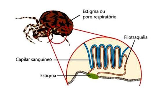Respiração traqueal - filotraqueia dos aracnídeos