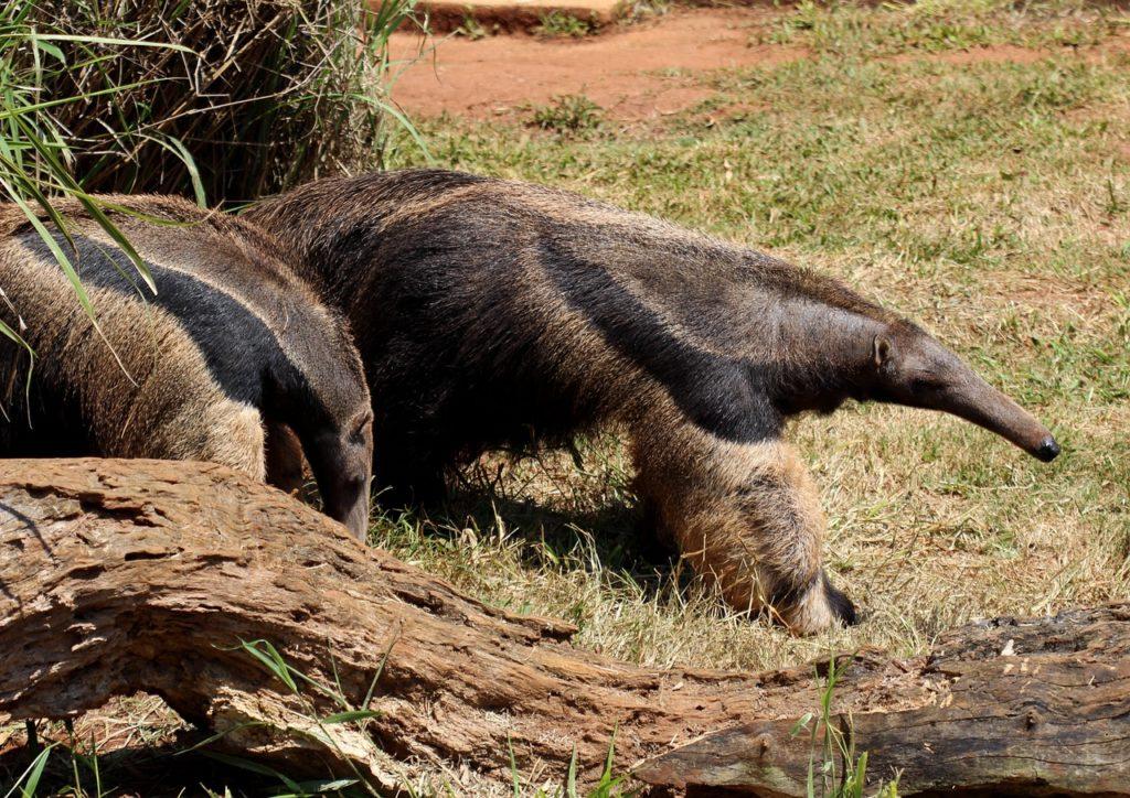 Animal com T - Tamanduá