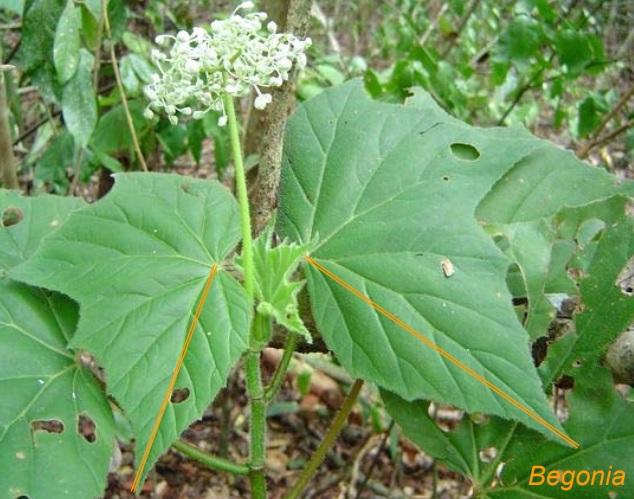 Classificação de folhas - Folha assimétrica