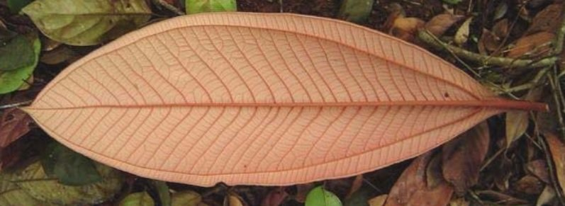 Classificação de folhas - Folha simétrica