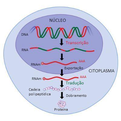 Ácidos nucleicos - transcrição de RNA fita simples