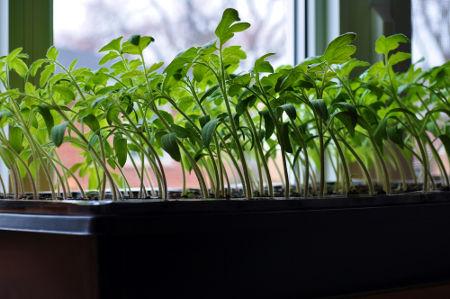 Fototropismo Positivo - plantas crescendo em direção a janela