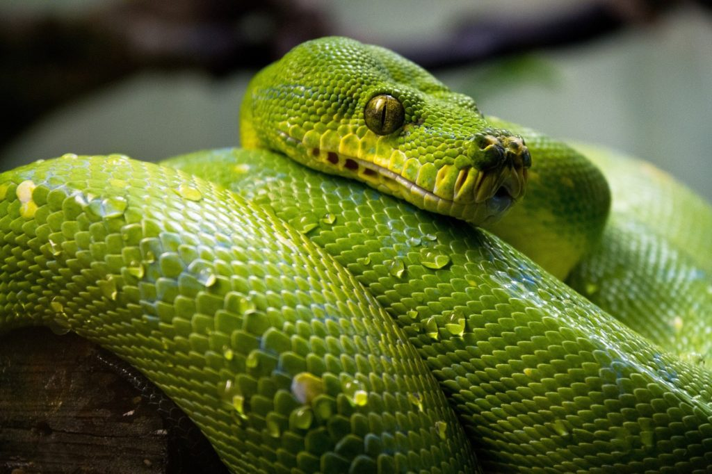 Animal com S - Serpente