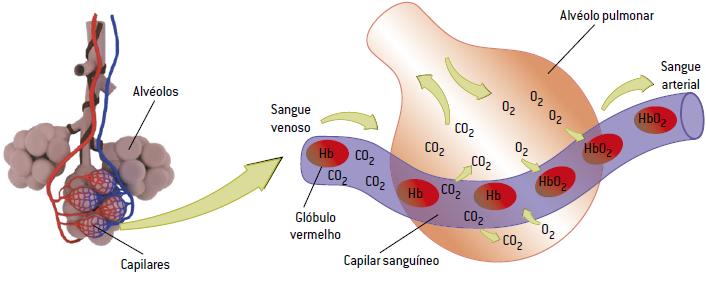 Hematose - como ocorre o processo de trocas gasosas