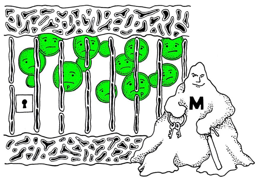 Líquens - em alguns casos uma relação de possível parasitismo onde o fungo (em preto e branco) aprisiona as algas (em verde) (imagem retirada de Ahmadjan 1993, mod.)