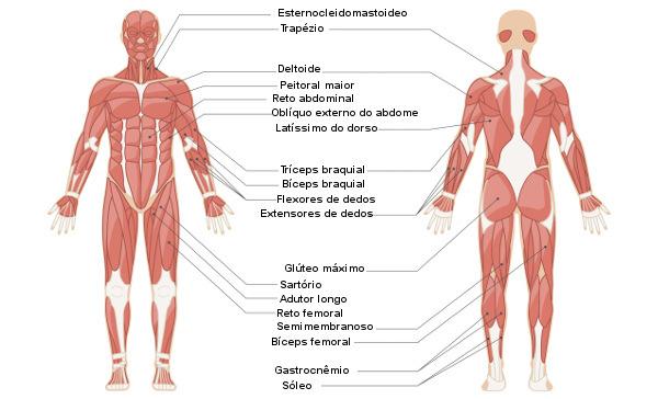 Sistemas do corpo humano: sistema muscular