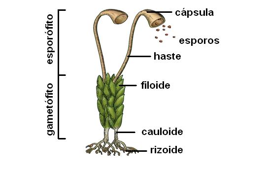 Musgos - estrutura