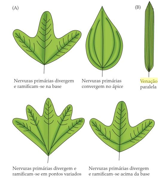 Classificação de folhas - Tipos de venação (Imagem retirada do livro Sistemática Vegetal 3 ed Um Enfoque Filogenético)