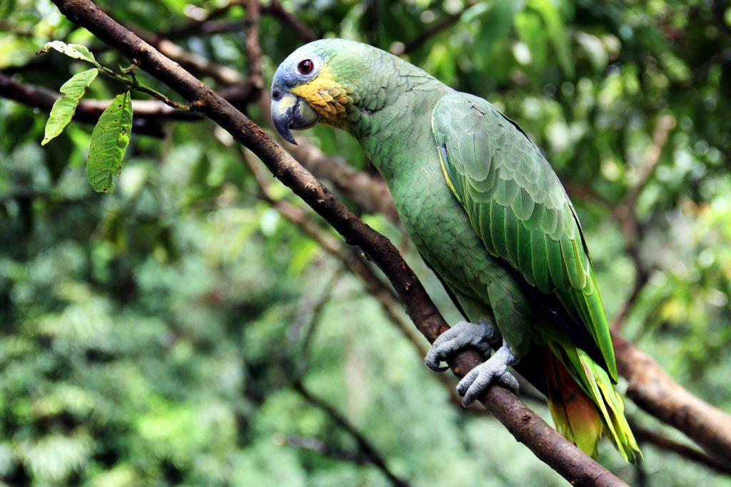 Animal com P - Papagaio