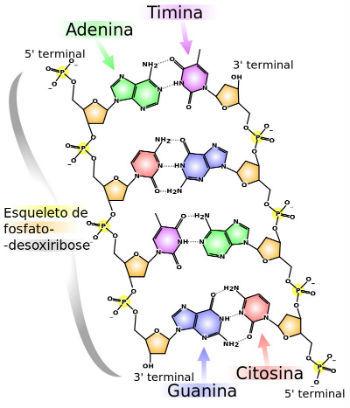 Ácidos nucleicos - Pontes de hidrogênio no DNA
