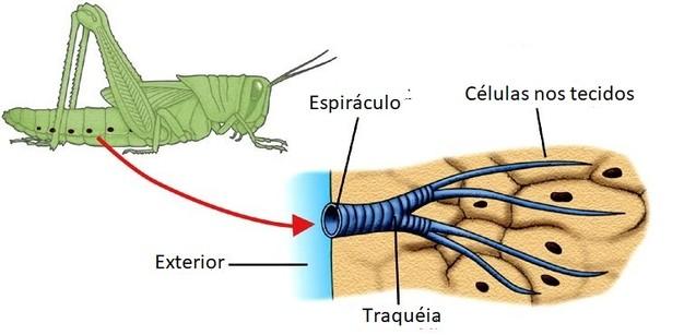 Respiração traqueal - Insetos