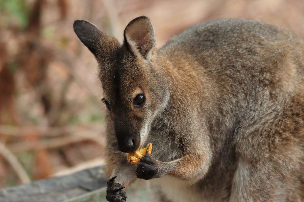 Animal com W - Wallaby