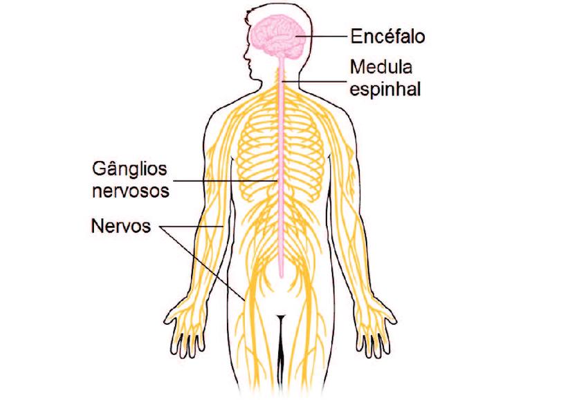 Sistemas do corpo humano: sistema nervoso