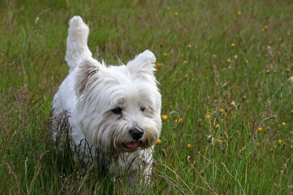 Animal com W - West Highland White Terrier