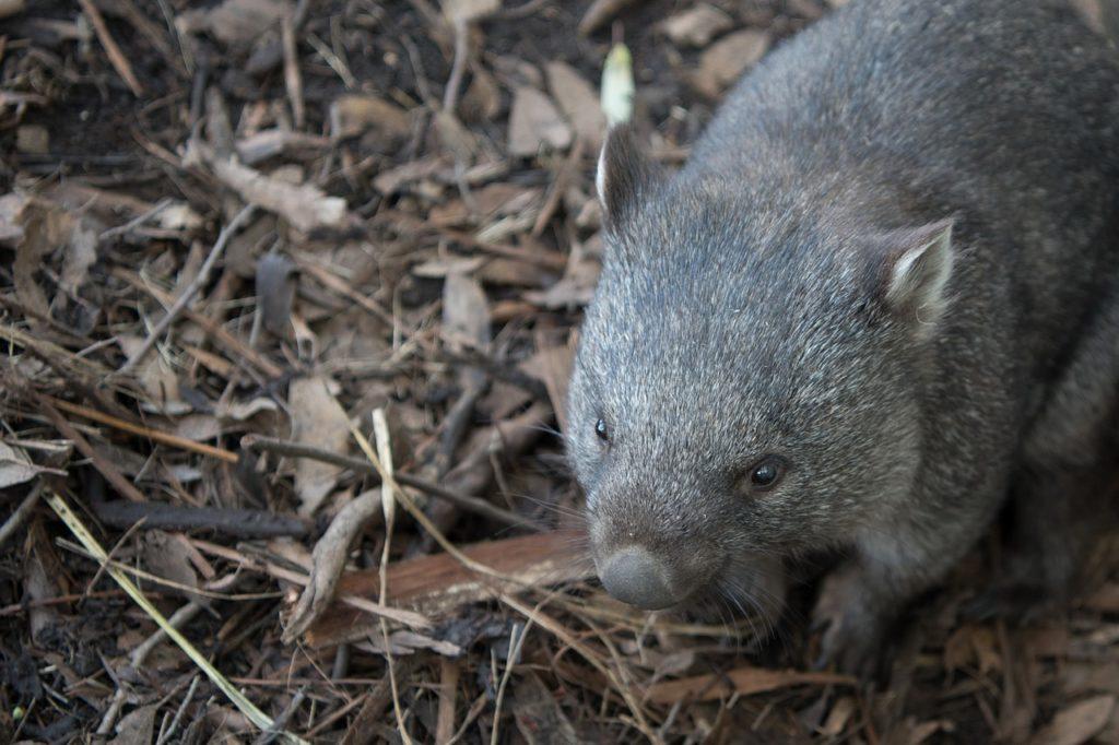 Animal com W - Wombat