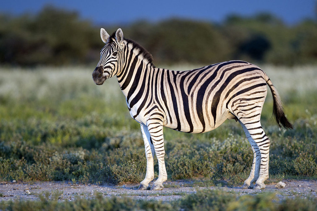 Animal com Z - Zebra