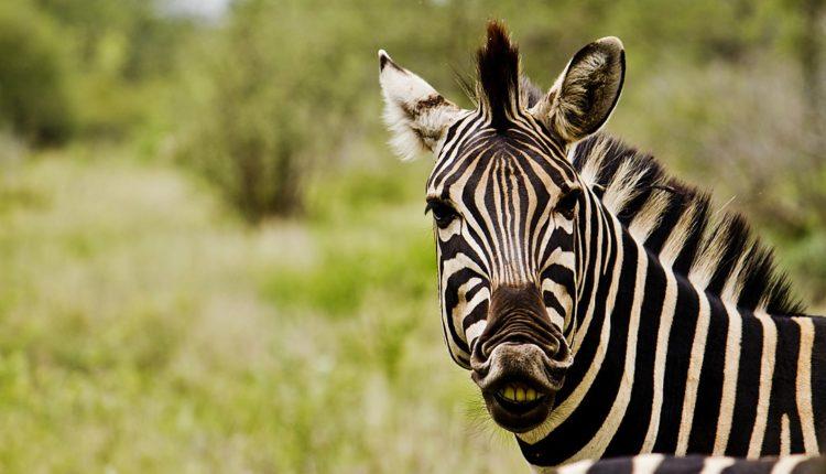 Animal com Z - Lista de animais que começam com a letra Z
