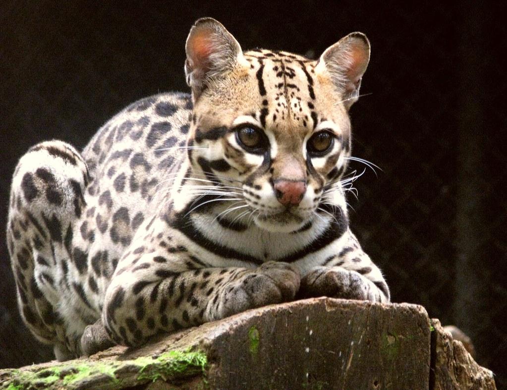 Felinos - Jaguatirica