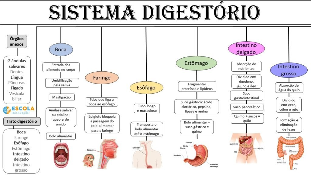 Mapa mental - Sistema digestório
