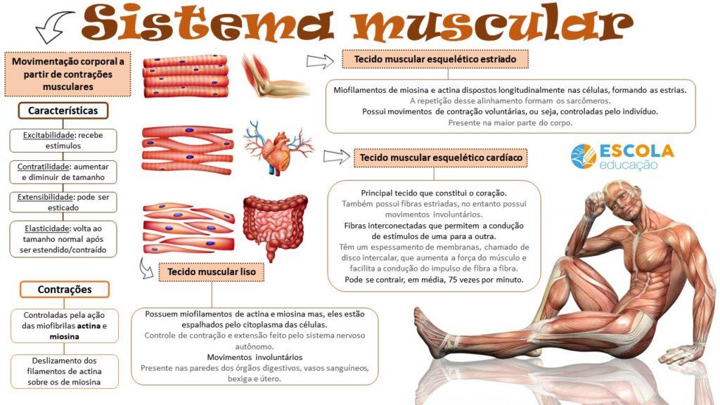 Mapa mental - sistema muscular