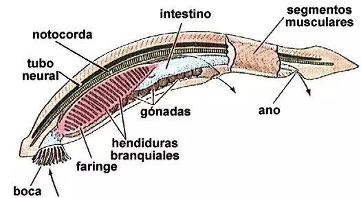Cordados - Anatomia do subfilo Cephalochordata