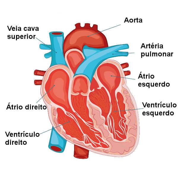 Sistema circulatório - anatomia do coração