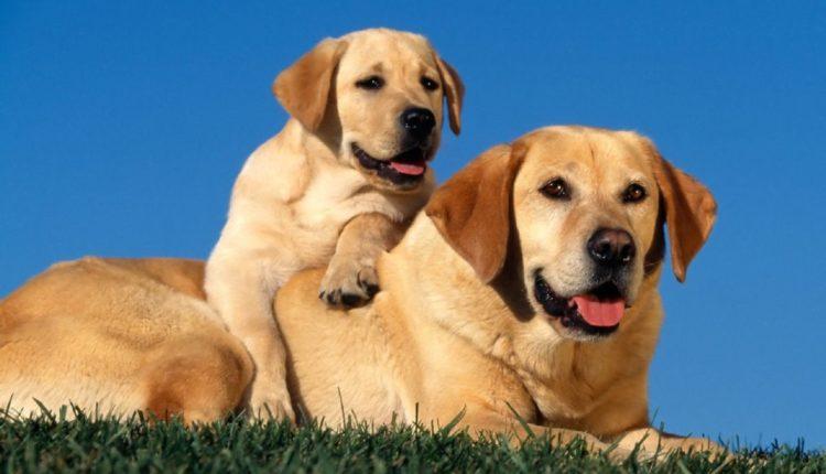 Feromônios - Cachorros