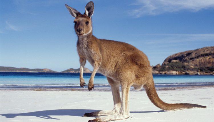Marsupiais - Canguru na praia