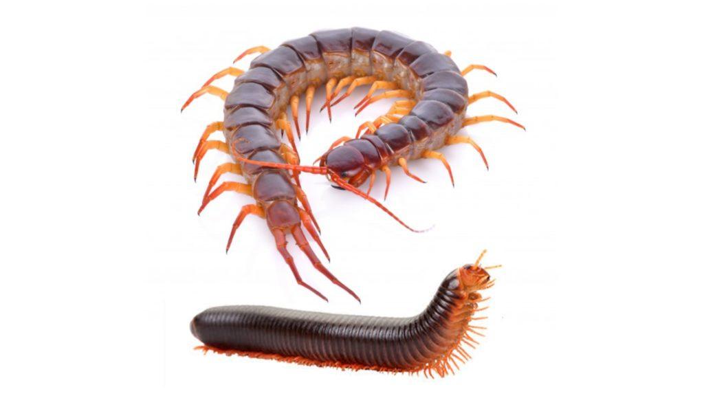 Artrópodes - centopeia (em acima) e piolho de cobra (em abaixo)