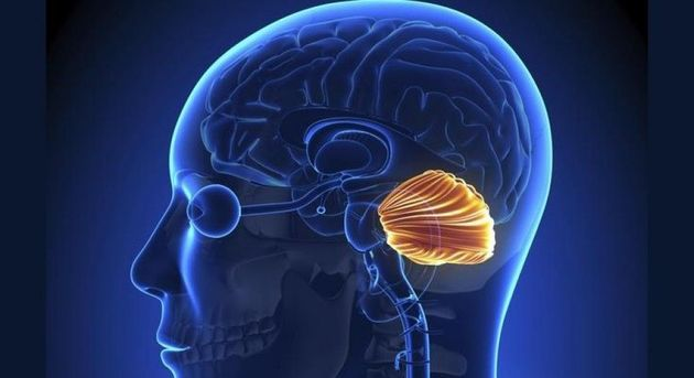 Órgãos do corpo humano - cerebelo