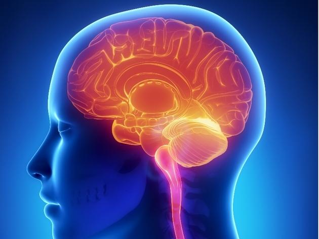 Órgãos do corpo humano - cérebro