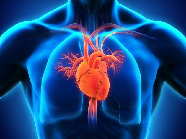 Órgãos do corpo humano - coração