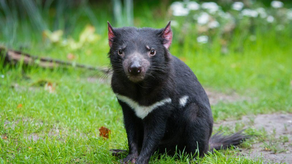 Marsupiais - Diabo da Tasmânia