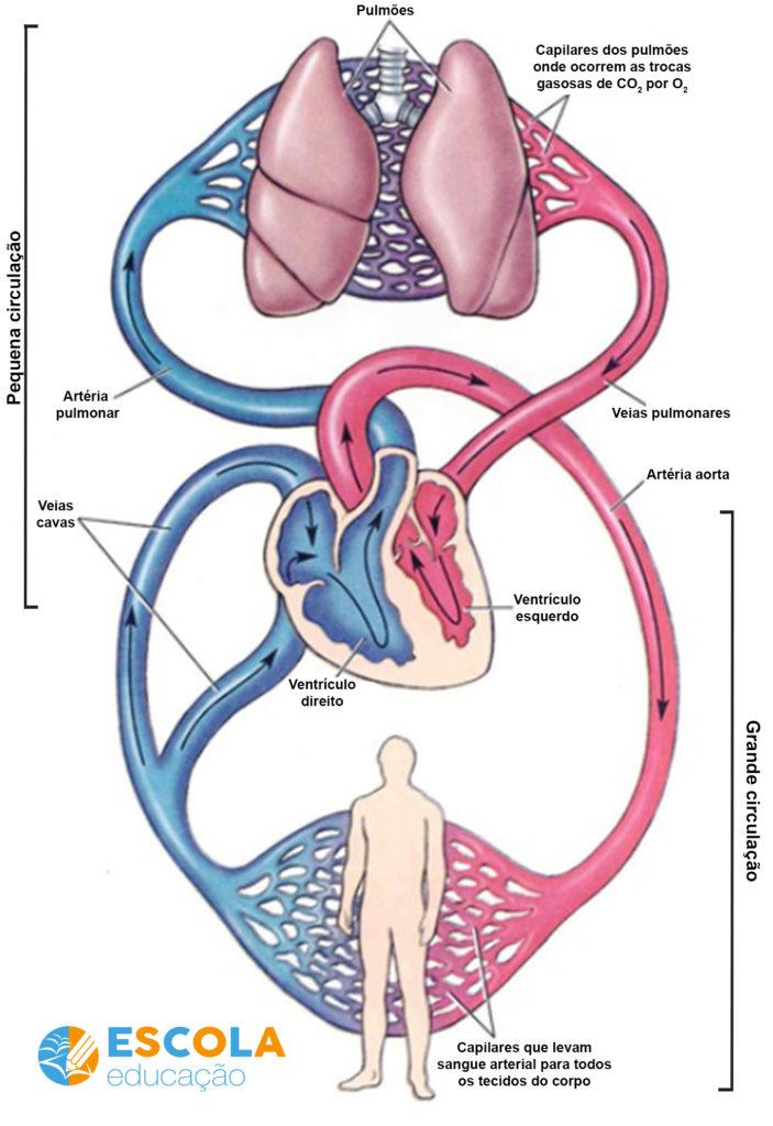Sistema circulatório - esquema da circulação sanguínea