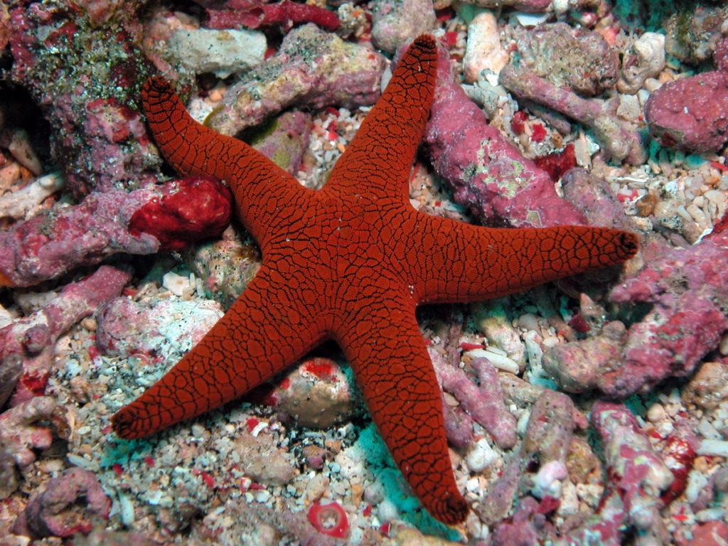Equinodermos - Estrela-do-mar