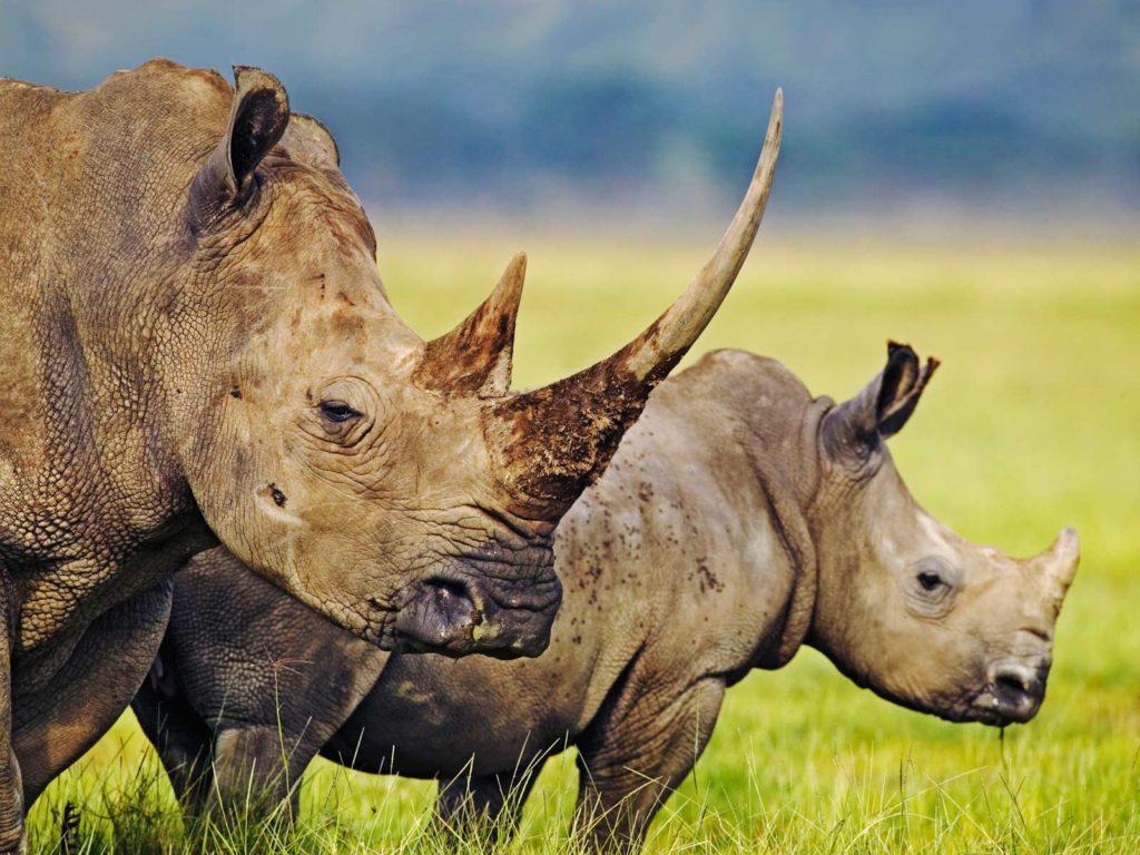 Falso chifre - Rinoceronte