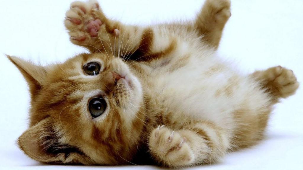 Felinos - gato doméstico