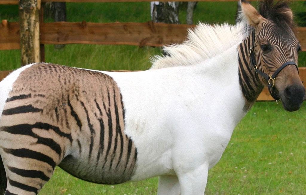 Animais híbridos - Zebralo: cruzamento entre cavalo e zebra.