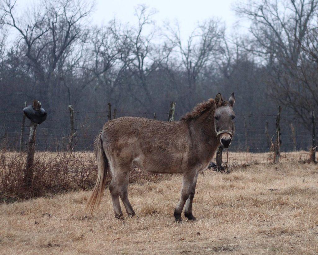 Híbridos - Bardoto: cruzamento entre cavalo e jumenta.