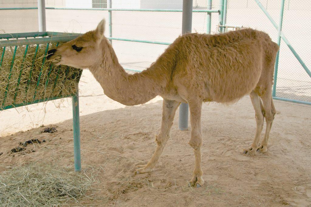 Híbridos - Cama: cruzamento entre camelo e lhama.