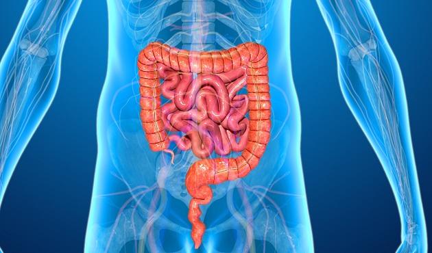 Órgãos do corpo humano -intestino delgado no centro e intestino grosso ao redor